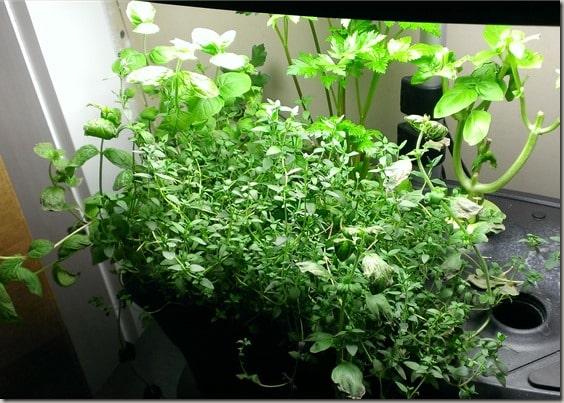Indoor gardening with AeroGarden - growing herbs