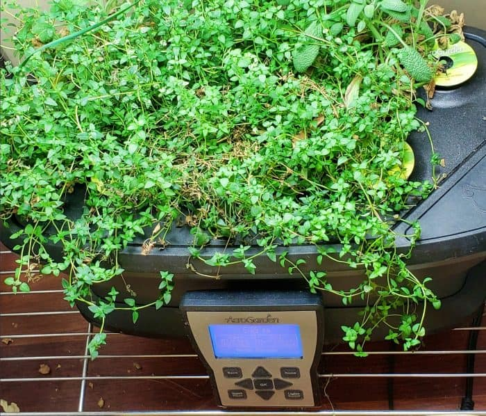 Top view of an AeroGarden almost completely overrun with thyme
