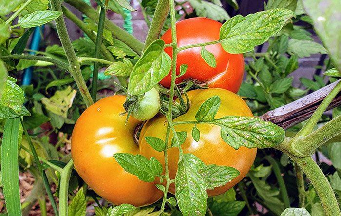 My backyard tomatoes